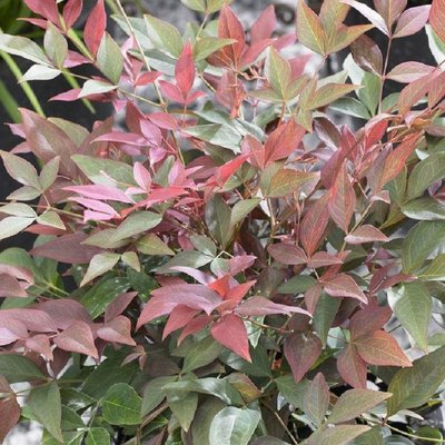 WINTER SALE - Nandina domestica Obsessed - Heavenly Bamboo Obession