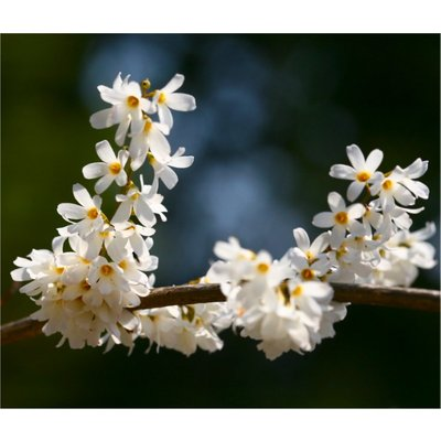 Abeliophyllum distichum - White Forsythia - in Bud and Bursting into Bloom - in 9cm pot