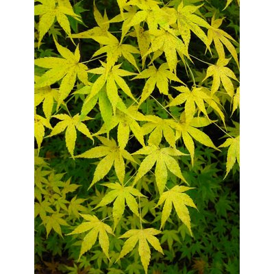 WINTER SALE - Acer palmatum Aoyagi -  Japanese Maple
