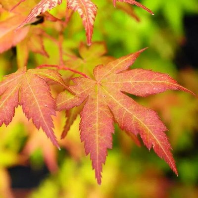 WINTER SALE - Acer palmatum Bihou - Bi Hoo Golden Coral Bark Japanese Maple