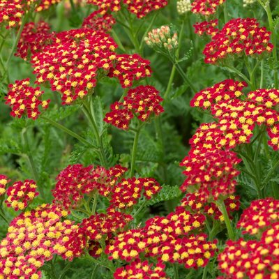 Achillea millefolium Milly Rock Red - Yarrow