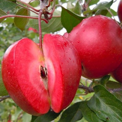 WINTER SALE - Apple Tree - Redlove� Era - 150cm Fruit Tree - Malus domestica Red Love