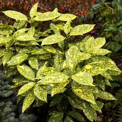 WINTER SALE - Aucuba japonica Crotonifolia - Evergreen Japanese Variegated spotted Laurel