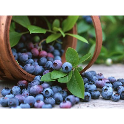Blueberry Plants (Vaccinium corybosum) for the Patio or Garden - Pack of SIX Plants
