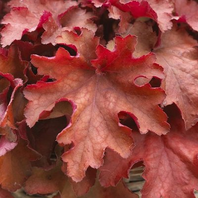 WINTER SALE - Heuchera Boysenberry