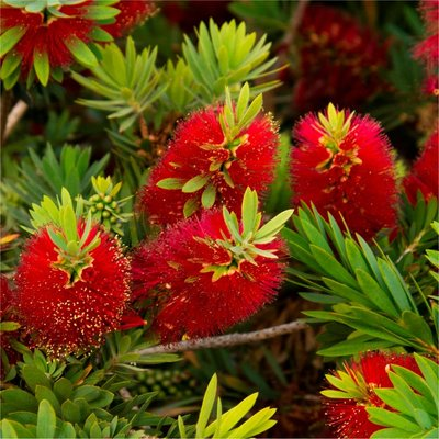 Callistemon citrinus splendens - Red Australian Bottle Brush - LARGE 100-120cms Specimen Plant