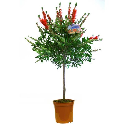 WINTER SALE - Callistemon Standard - Red Australian Bottle Brush - LARGE Patio Tree 120-140cms