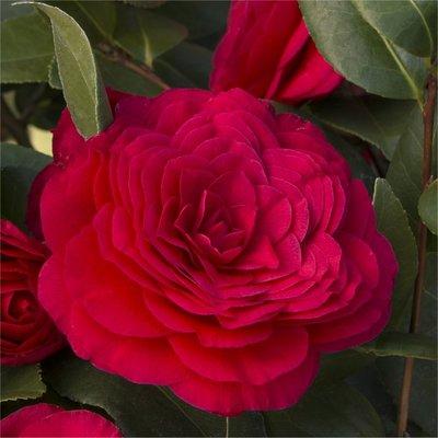 Camellia japonica Bella Rossa - Dark Red Double Evergreen Camellia