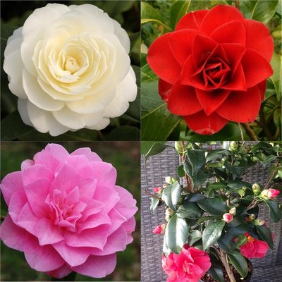 Hardy Camellia japonica Collection In Bud - Red White & Pink