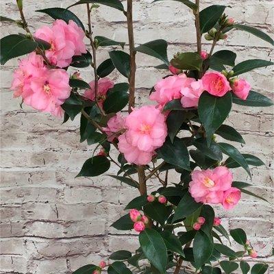 WINTER SALE - Camellia Spring Festival - Pink Blooming Evergreen - Large 100-120cm Specimen
