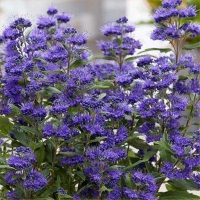 Caryopteris × clandonensis