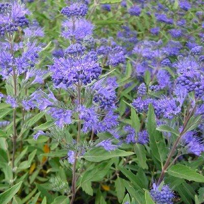 WINTER SALE - Caryopteris x clandonensis Heavenly Blue - Bluebeard