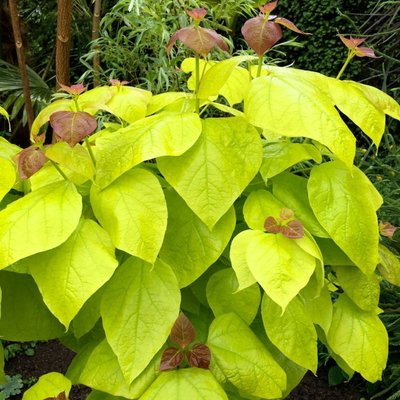 Catalpa bignoides Aurea - Golden Indian Bean Tree - LARGE