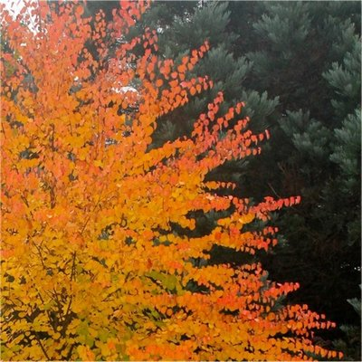 WINTER SALE - Multi-stem Toffee Apple Tree - Cercidiphyllum japonicum - 120-140cm Katsura Tree
