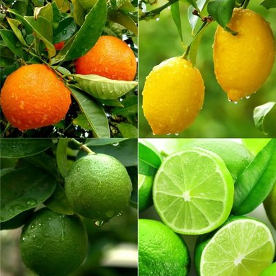 WINTER SALE - Patio Citrus Tree Collection - Orange Lemon & Lime Tree + Citrus Feed