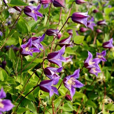 WINTER SALE - Clematis Prince William