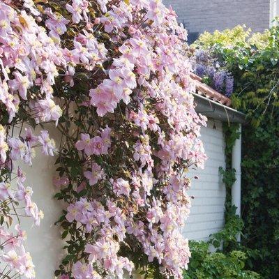 Clematis Montana Mayleen - Pink Flowering Clematis on a Trellis