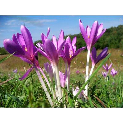 Colchicum autumnale - Autumn Crocus - In Bud & Bloom