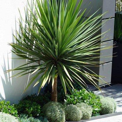 WINTER SALE - Cordyline australis - GIANT EXTRA LARGE 5-6ft Specimen Palm