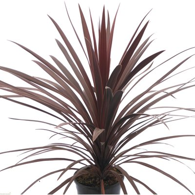 WINTER SALE - Cordyline australis Red Star - Purple Torbay Palm - 120cms LARGE SPECIMEN