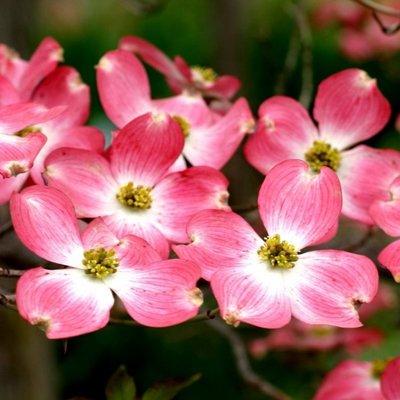 Cornus florida - Flowering Dogwood - Large Specimen Plant
