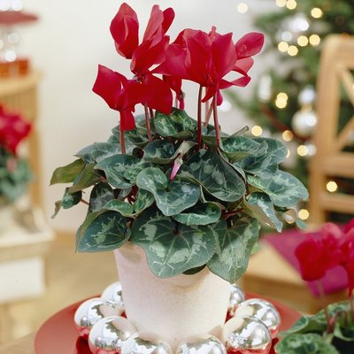 Red Cyclamen Plant in Bud & Bloom