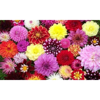 WINTER SALE - Premium varieties Dahlia Collection - Breeders Special Mix - Pack of TEN