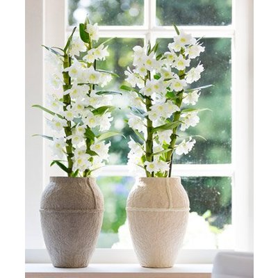 Dendrobium Nobilis - White Towering Orchid - Premium Quality with Classic White Display Pot - TWIN PACK