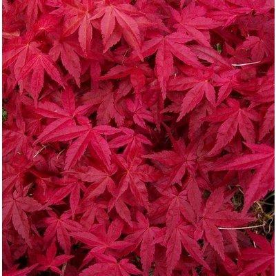 Acer palmatum Deshojo - Large Japanese Maple 100-150cm