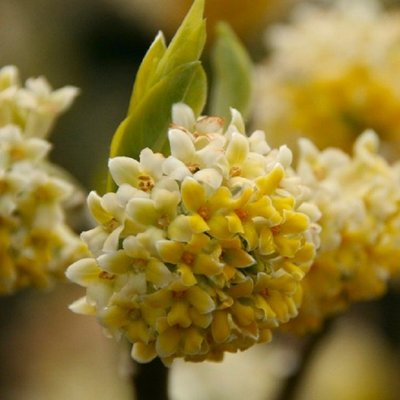 WINTER SALE - Edgeworthia chrysantha