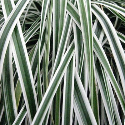 Carex oshimensis Evercolour� ��Everest�� - Evergreen Japanese Sedge