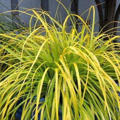 Carex oshimensis Evercolour� ��Everillo�� - Evergreen Japanese Sedge