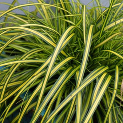 Carex oshimensis EverColor�