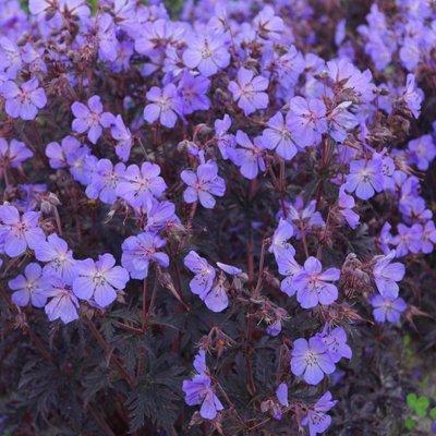 Geranium pratense Dark Reiter - Hardy Geranium