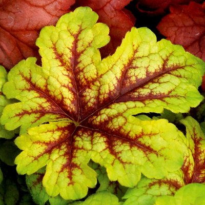 Heuchera Alabama Sunrise