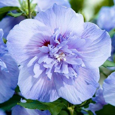 Hibiscus syriacus BLUE Chiffon - Double Flowered Tree Hollyhock