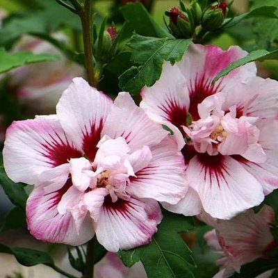 Hibiscus Lady Stanley - Double Ruffled Tree Hollyhock