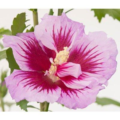 Hibiscus Gandini Santiago PURPLE PILLAR