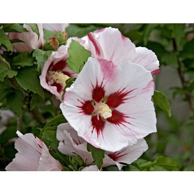 WINTER SALE - Hibiscus syriacus Hamabo