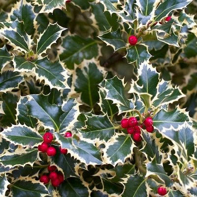 WINTER SALE - Ilex aquifolium argentea marginata - Variegated Female Holly