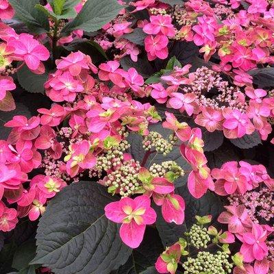 WINTER SALE - LARGE Japanese Confetti Hydrangea serrata - Lacecap Hydrangea