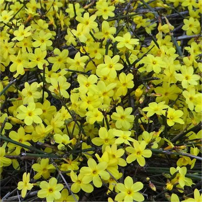 WINTER SALE - Jasminum nudiflorum - Winter Jasmin - Bright Yellow Flowering Winter Jasmine