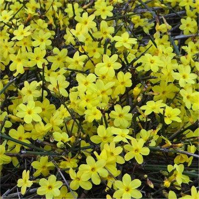 Jasminum nudiflorum - Large 5-6ft Winter Jasmin Specimen