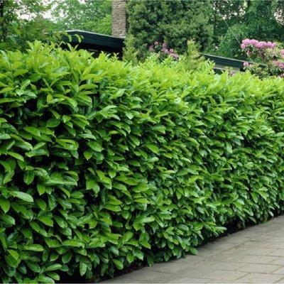 Laurel Hedging - Prunus laurocerasus Novita - Approx 40-60cm - Pack of 12 Cherry Laurel Plants
