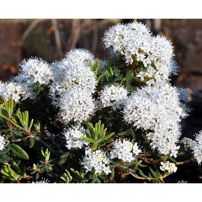 WINTER SALE - Rhododendron (Ledum) groenlandicum Helma