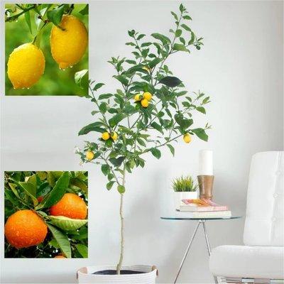 WINTER SALE - LARGE 120-140cm Citrus Trees - 1 x LEMON & 1 x ORANGE + FREE Citrus Feed