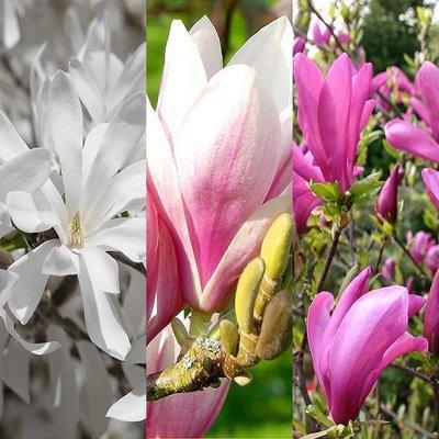 Mystical Magnolia Collection - Soulangeana Susan & Stellata - Flowering Sized Plants