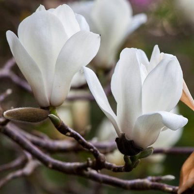 Magnolia denudata - Ancient Chinese Tulip Tree with Large White Flowers