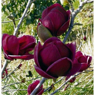 Magnolia Genie - Amazing Purple Black Magnolia - Giant Flowered Black Tulip Tree 120-150cm