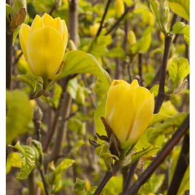 WINTER SALE - Magnolia Yellow Bird - Tulip Tree - Large 150-180cms